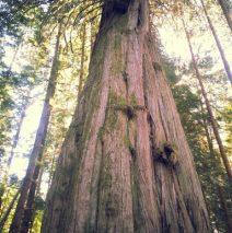 A Cedar Is Life Casting Call